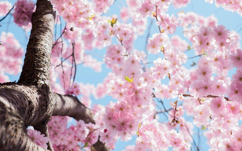 Kokemuskirjoituksen kuvana kirsikankukkia